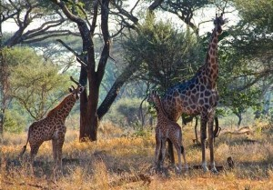 Ron Howard snapped this picture (and then tweeted it) on a photo safari to Zimbabwe in early June while he and wife Cheryl celebrated their 39th wedding anniversary.  Ron didn't comment on whether these giraffes seemed selfish, and fortunately there wasn't any lightning that day to provide any proof either.  Ron always has interesting photos in his Twitter posts.  Follow him at @RealRonHoward.